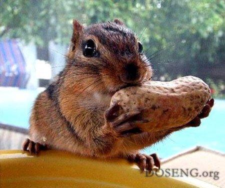 Как белка орехи кушает (6 фото)