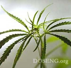 В Индонезии марихуана станет приправой