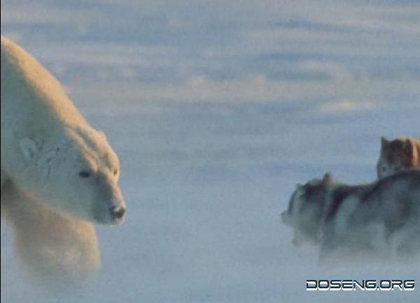 Белый медведь против лайки!