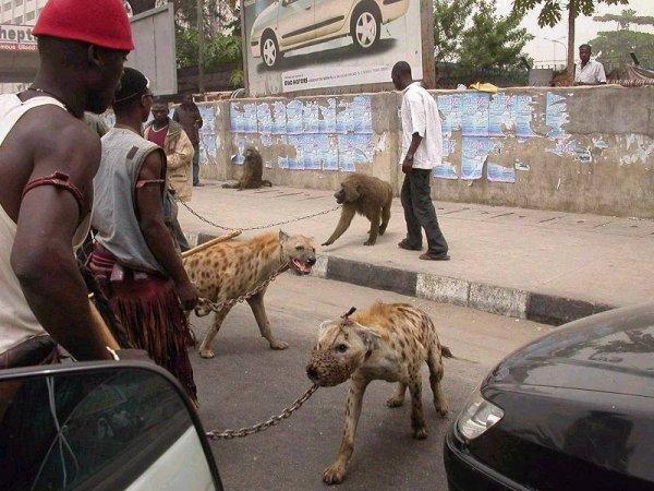 Домашние животные Африки