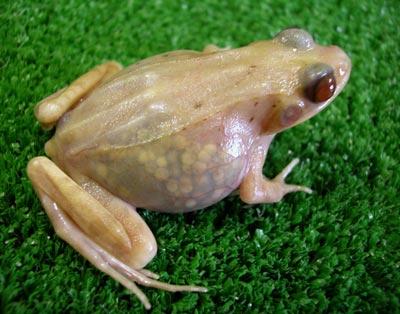 Ученые создали прозрачную лягушку(3 фото)