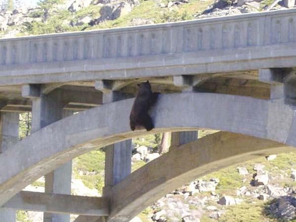 Медведь на мосту (6 фото)
