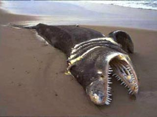 На африканский берег выбросило тушу неизвестного зубастого монстра