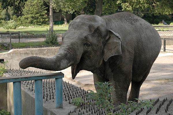 В Московском зоопарке слониха растоптала женщину-смотрителя
