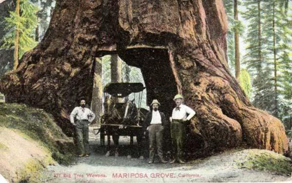 Деревья - гиганты (25 фото)