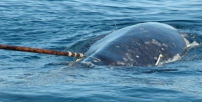 Браконьерская охота за китами
