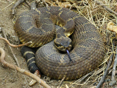 Укус 2-х метровой гремучей змеи. ЖЕСТЬ!!!