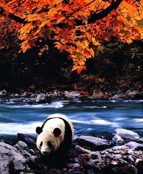 Панды (45 фото)