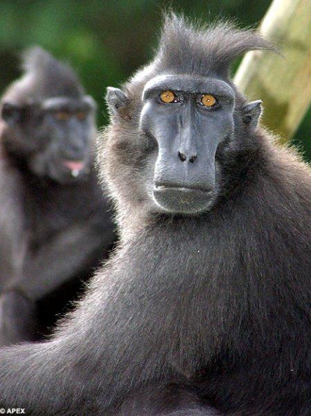 В британском зоопарке усыпили драчливых обезьян