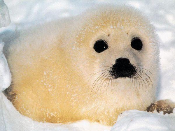 Маленькие тюленята 24 фото фото