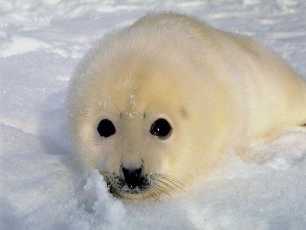 Маленькие тюленята (24 фото)