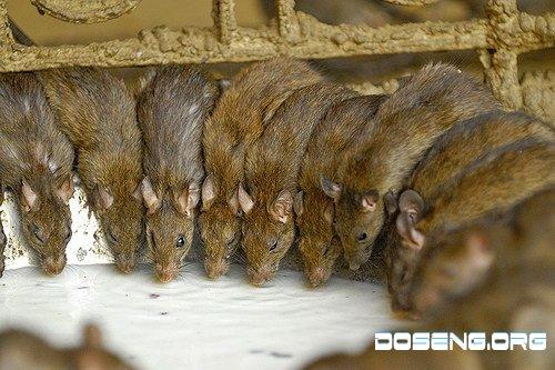 Крысиный храм (40 фото)