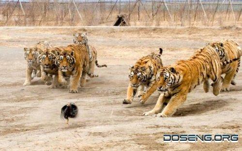 Тренировка тигров