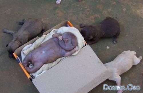 Бразильский щенок родился похожим на человека (6 фото)