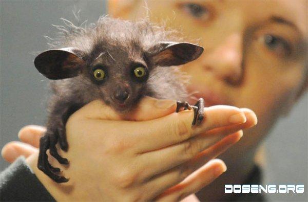 В зоопарке Британии появился маленький Айе-айе (2 фото)