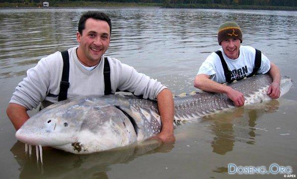Парни словили 100-летнюю рыбу монстра!