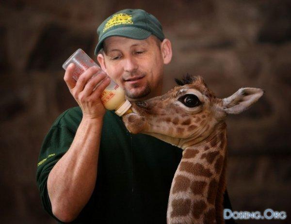 Маленький жираф в Честерском зоопарке (8 фото)