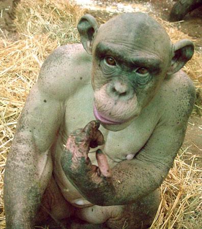 Облысевшая шимпанзе (7 фото)