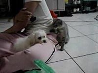 Кот дразнит собаку