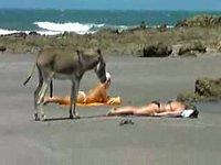 Осел на пляже 18+