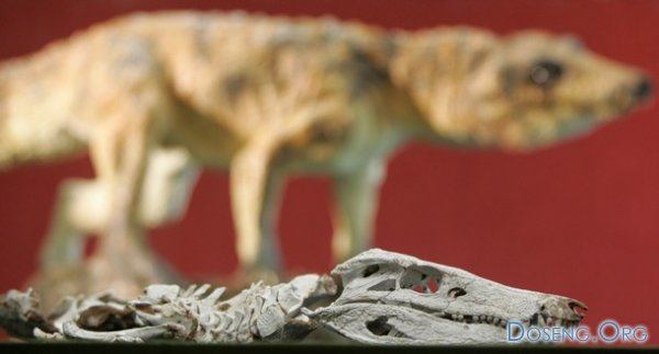 Найдены останки предка современного крокодила (4 фото)