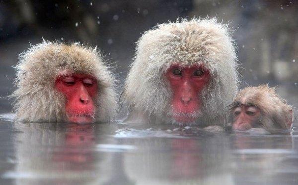 Японские макаки зимой греются в озере (10 фото)