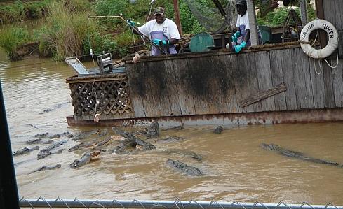 Вот так кормят крокодилов