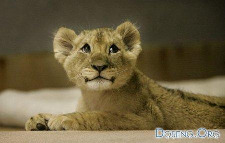 Собачка воспитала льва... (13 фото)