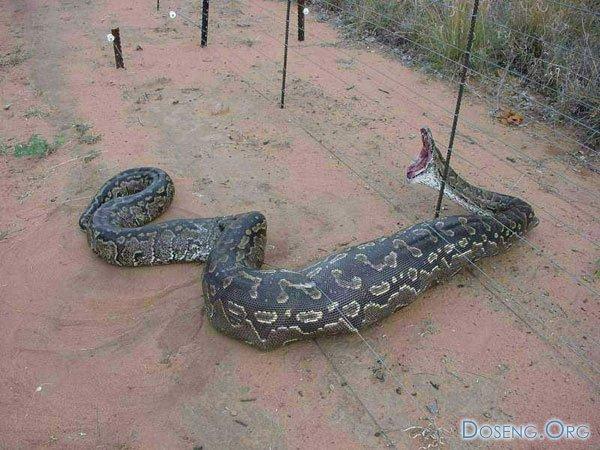 Ловушка для змеи (2 фото)