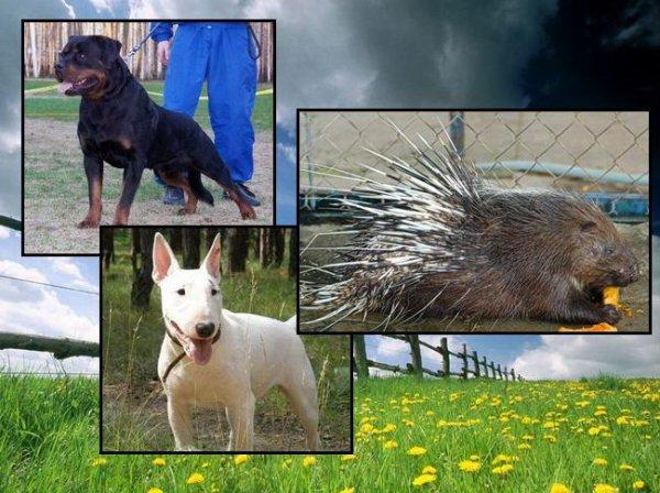 Бойцовские собаки против дикобраза (7 фото)