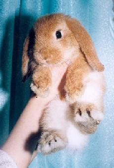 Куплю карликового декоративного кролика, породы вислоухий баран.