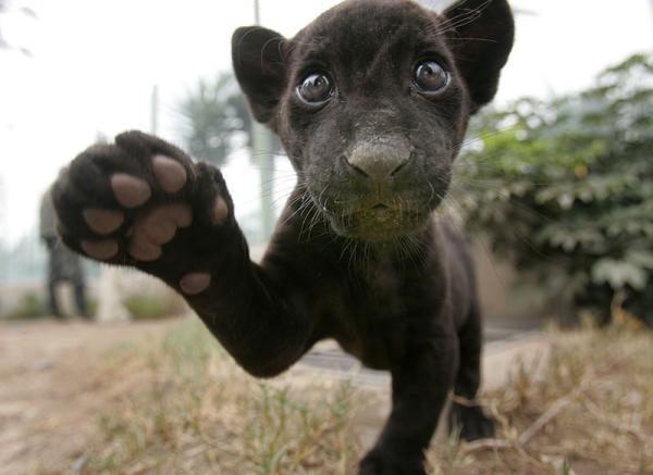 Малыш ягуар ( 2 фото )