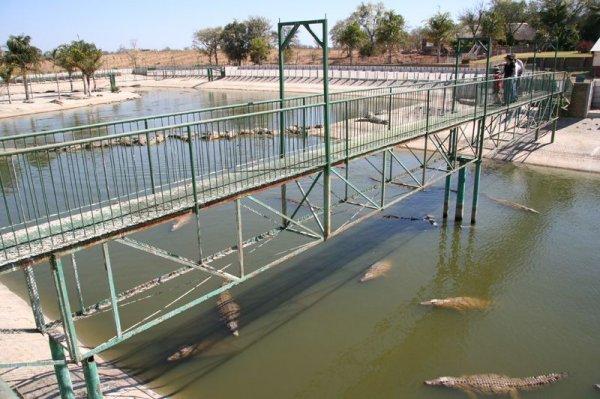 Ферма крокодилов (5 фото)