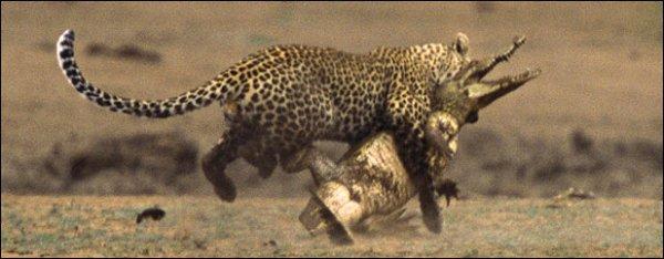 Битва леопарда и крокодила (8 фотографий)