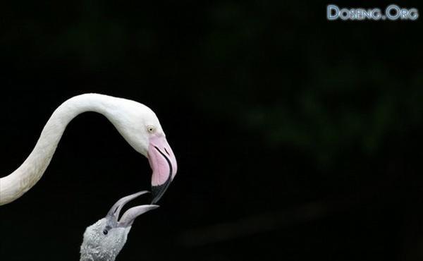 Фламинго из зоопарка Хеллабрунн