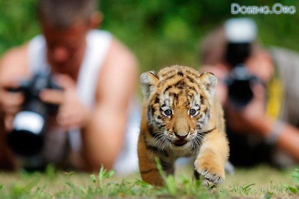 Сибирский тигренок Антарес из Берлинского зоопарка