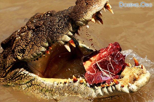 В мире животных: крокодилы реки Аделаида \ Nature