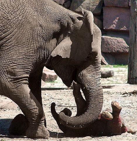 Слониха решила утопить новорожденного слоненка (4 фото)