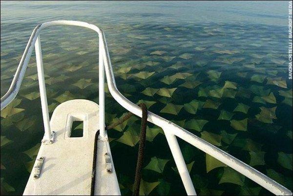 Миграция скатов около берегов Мексики