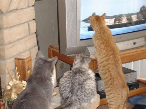 Ваши кошки смотрят телевизор?