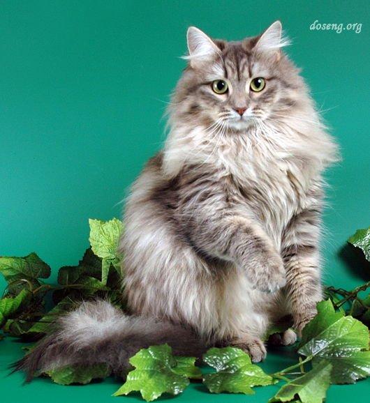 Сибирская кошка Ch.Барыня Львиное Сердце.