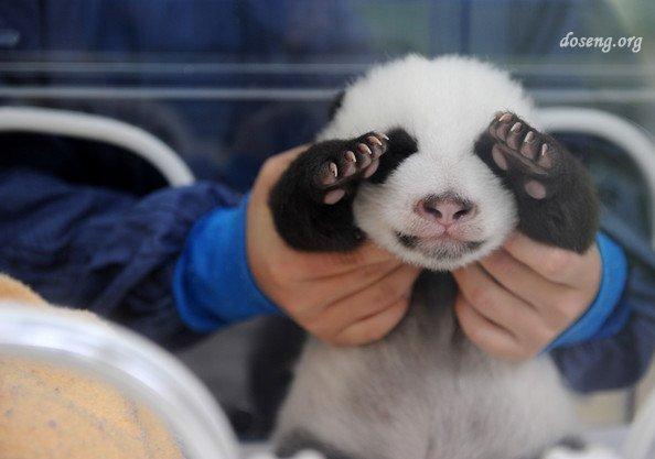 Детеныши гигантской панды