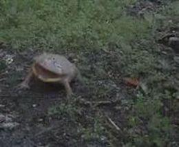 Маленькая, но грозная лягушка