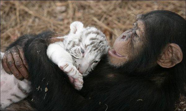 Шимпанзе растит тигрят (13 фото)