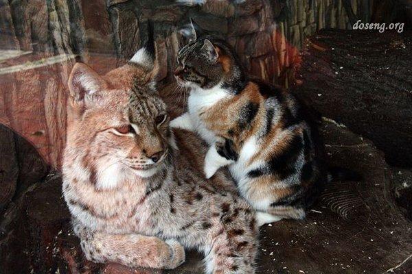 Кошка и рысь в питерском зоопарке (4 фото)