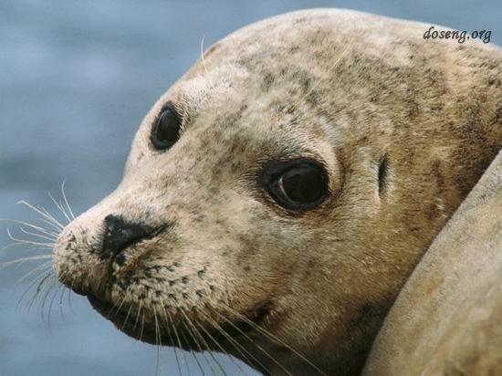 Морские тюлени (20 фото)