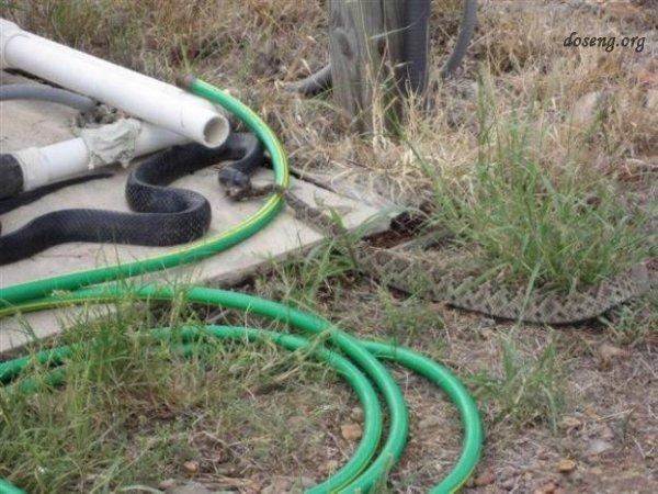 Змея съела змею (5 фото)