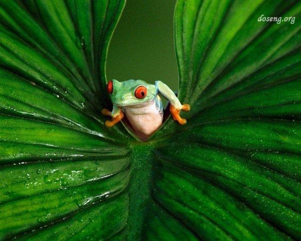 Лягушки Южной Америки (10 фото)
