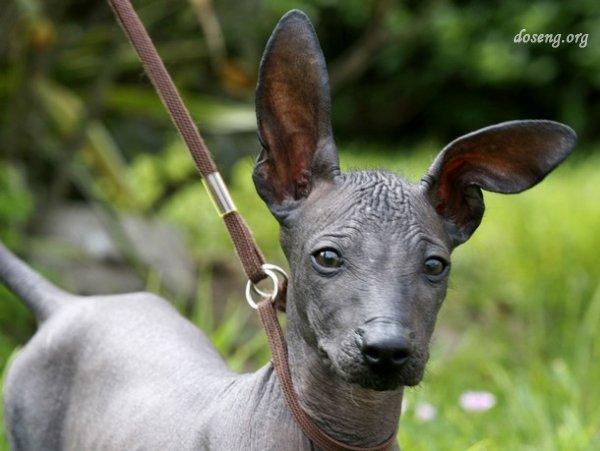 Обаме предложили завести лысую беззубую собаку