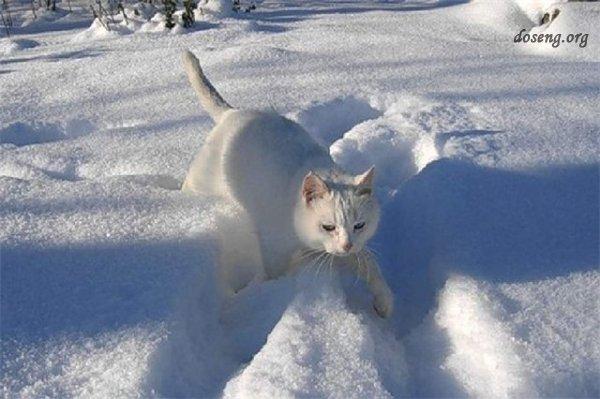 Снежные коты или коты на снегу